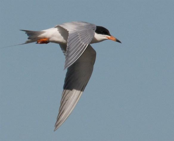 Caspian Tern 113