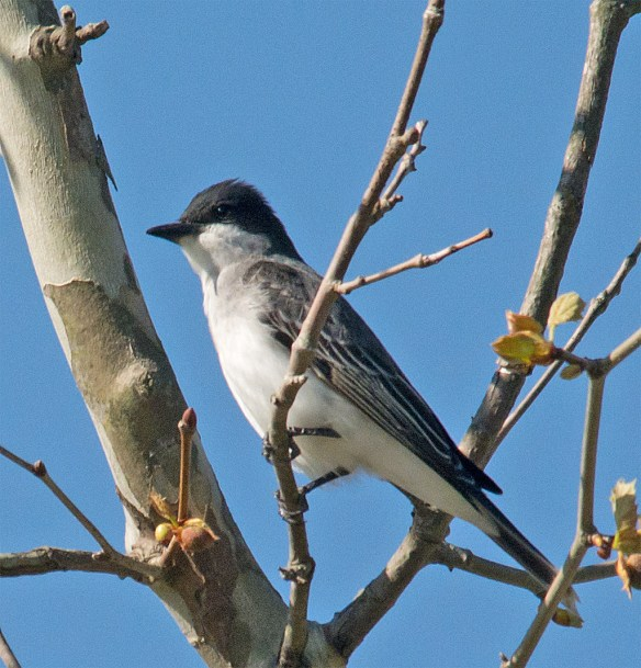 Eastern Kingbird 100