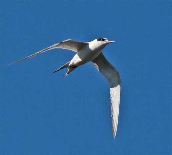 Forster's Tern 100