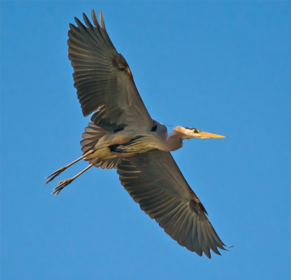 Great Blue Heron 294