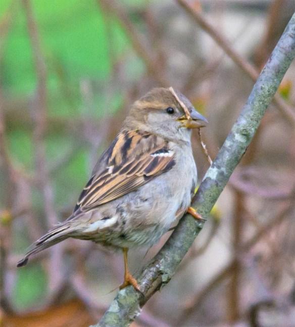 House Sparrow 101