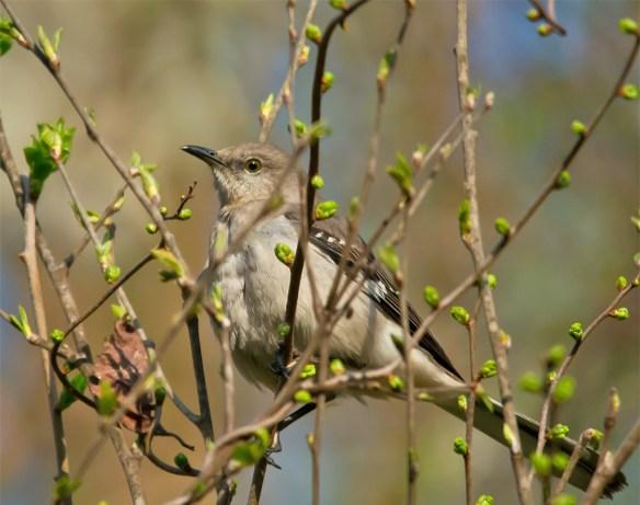 Mockingbird 100
