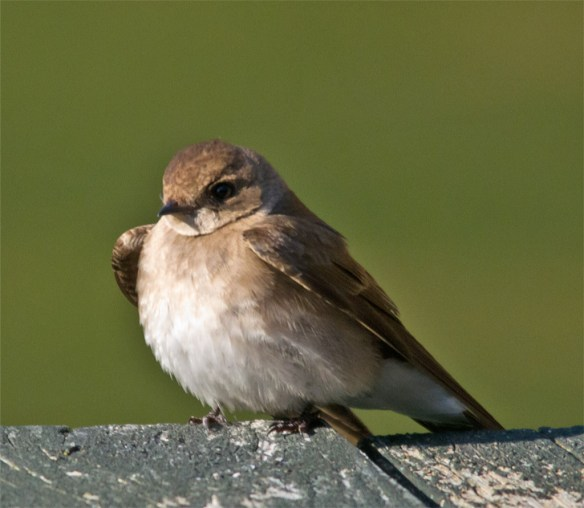 Northern Rough Winged Swallow 101