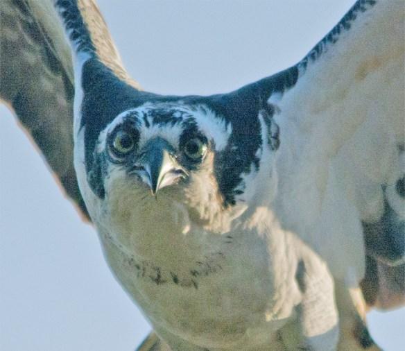 Osprey 293