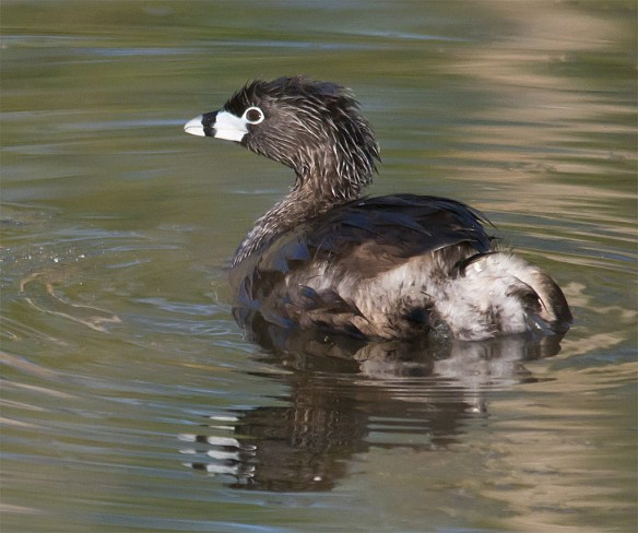 Pied Billed Grebe 100