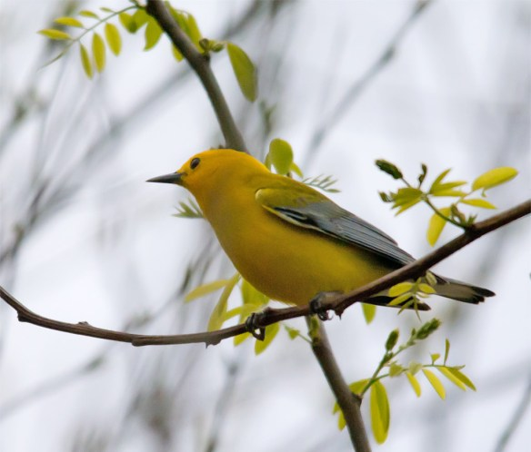 Prothonotary Warbler 104