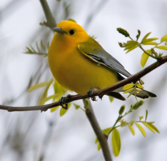 Prothonotary Warbler 105