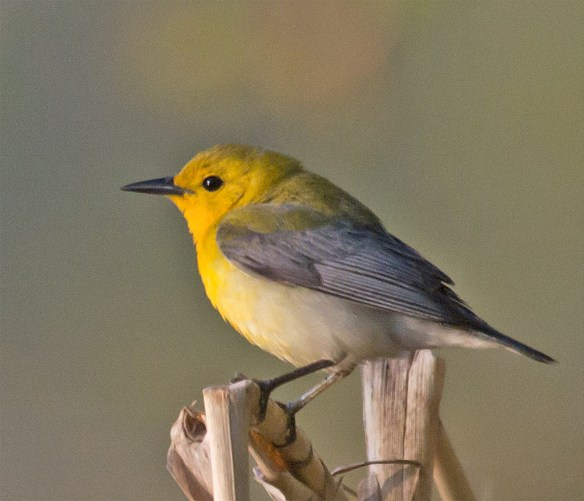 Prothonotary Warbler 108
