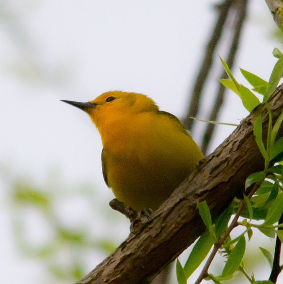 Prothonotary Warbler 113