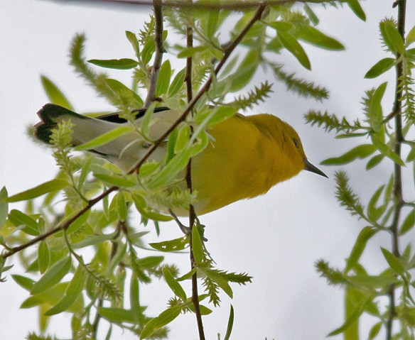 Prothonotary Warbler 114