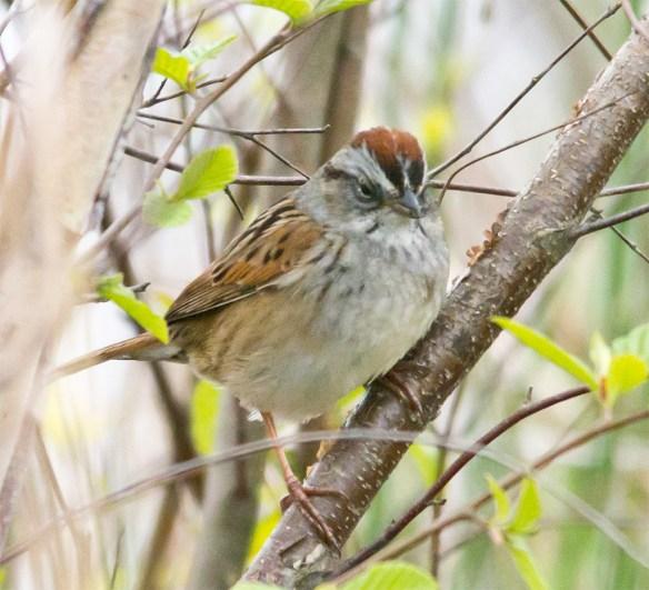 Swamp Sparrow 106
