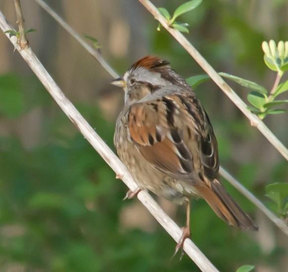 Swamp Sparrow 107
