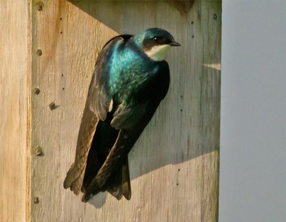Tree Swallow 104