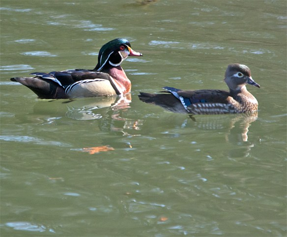 Wood Duck 221
