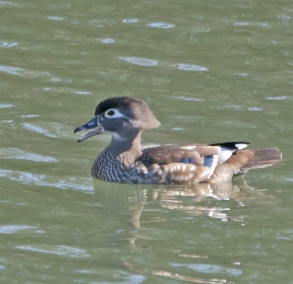 Wood Duck 222