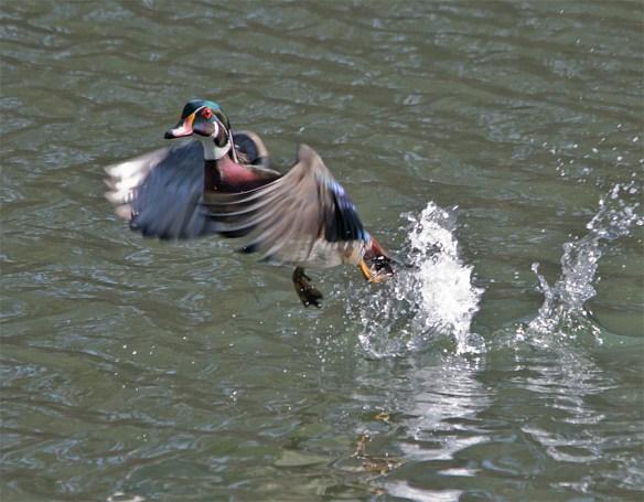 Wood Duck 223