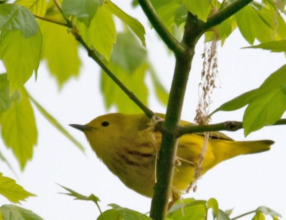 Yellow Warbler 101