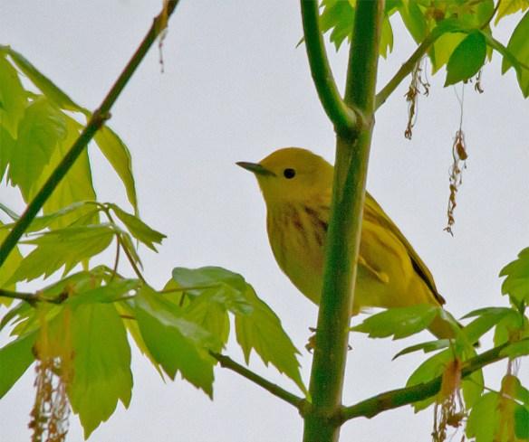 Yellow Warbler 103