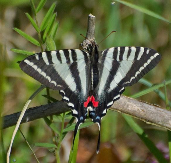 Zebra Swallowtail 9
