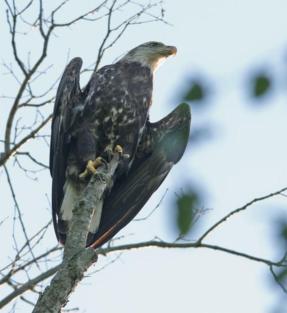 Bald Eagle 415