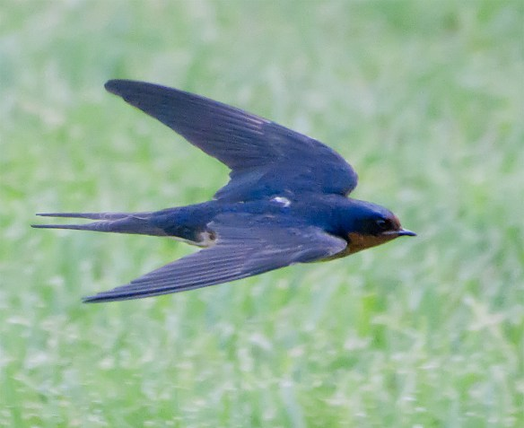 Barn Swallow 21