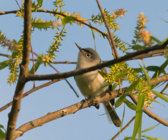Blue Gray Gnatcatcher 213