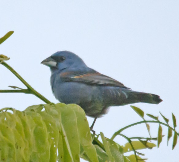 Blue Grosbeak 205