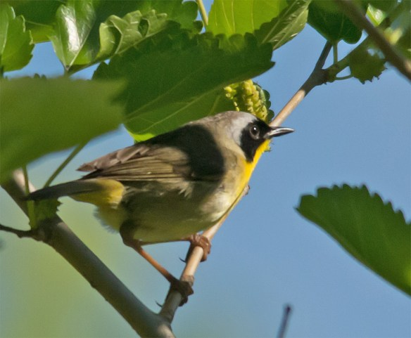 Common Yellowthroat 109