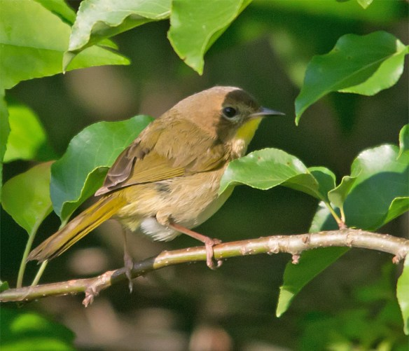 Common Yellowthroat 110