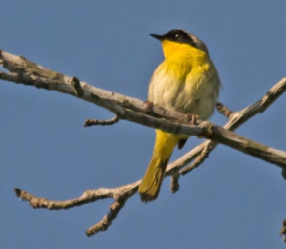 Common Yellowthroat 200