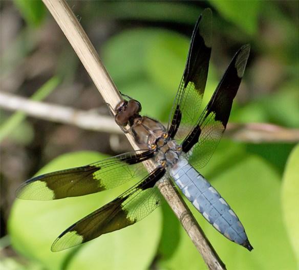 Dragonfly 46