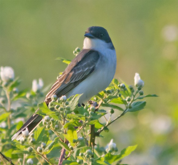Eastern Kingbird 109