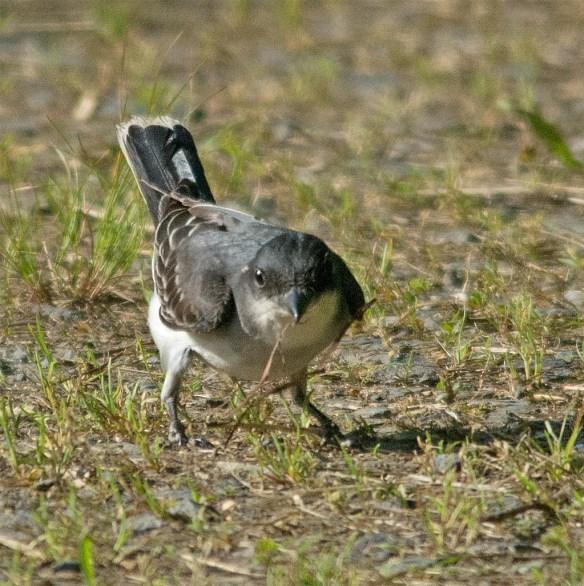 Eastern Kingbird 114