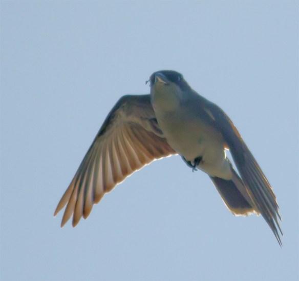 Eastern Kingbird 116