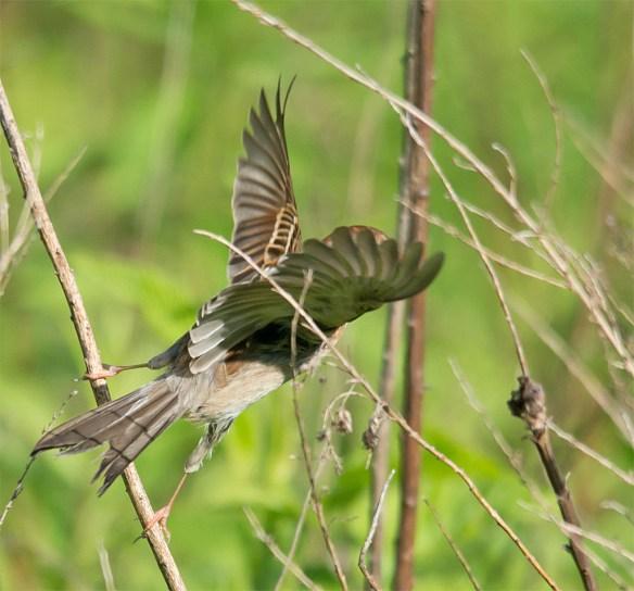 Field Sparrow 104