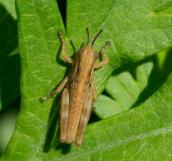 Grasshopper 200