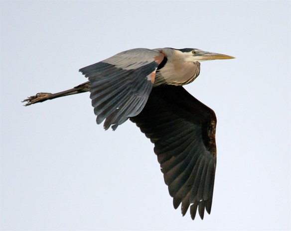 Great Blue Heron 305