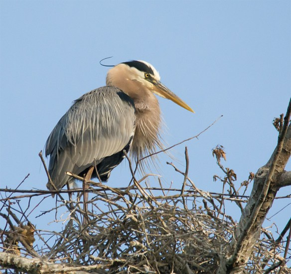 Great Blue Heron 314