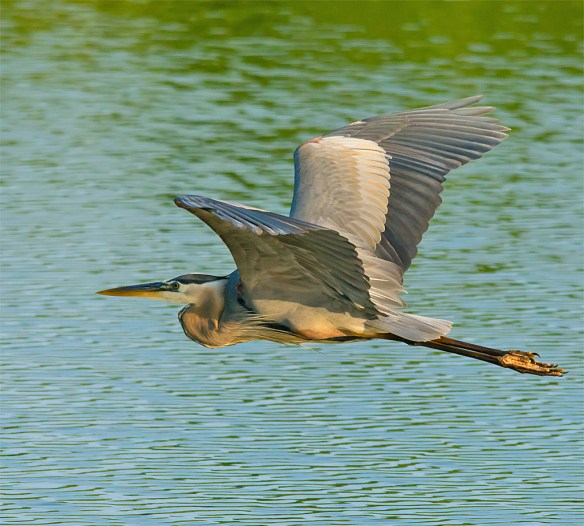 Great Blue Heron 317