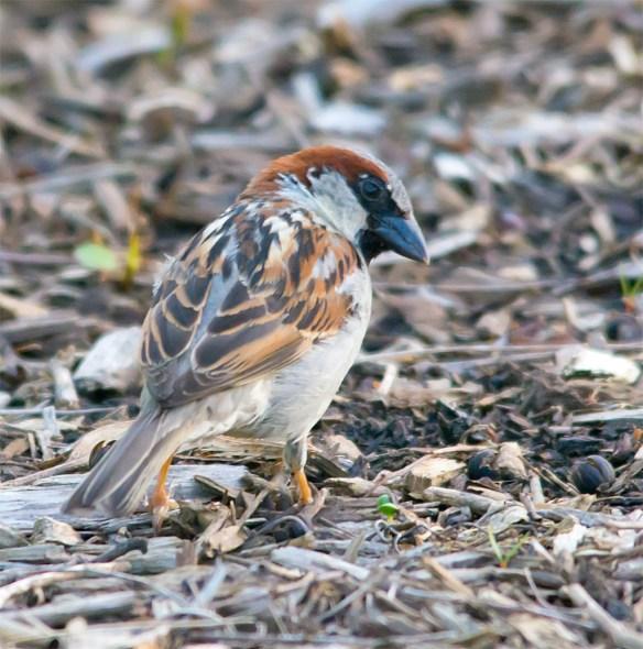 House Sparrow 102