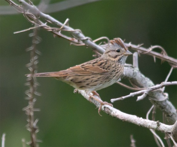 Lincoln's Sparrow 100