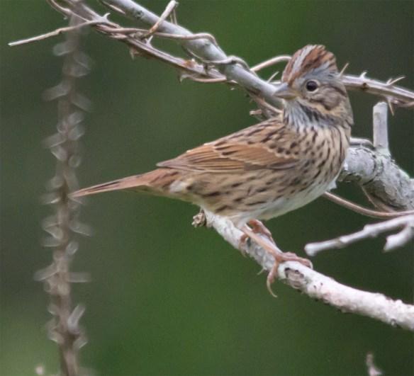 Lincoln's Sparrow 101