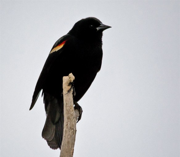Red Winged Blackbird 104