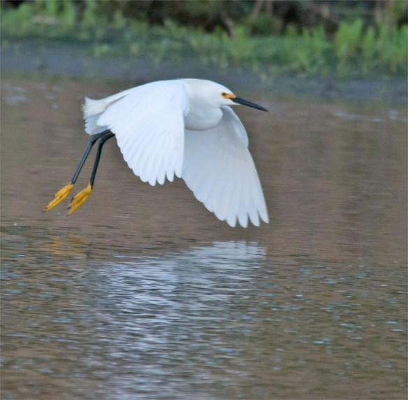 Snowy Egret 12