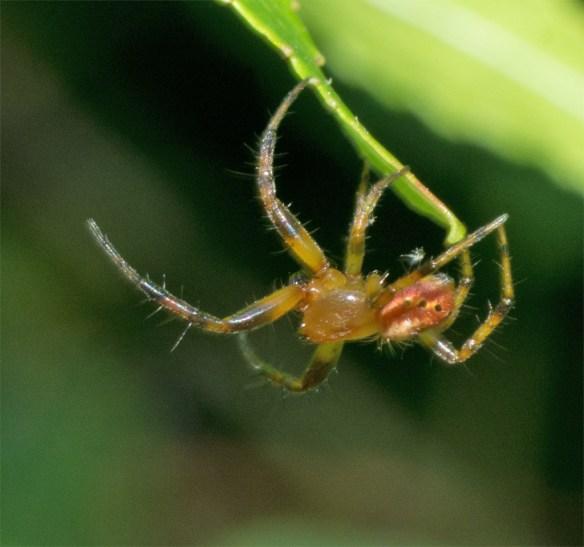 Spider 239