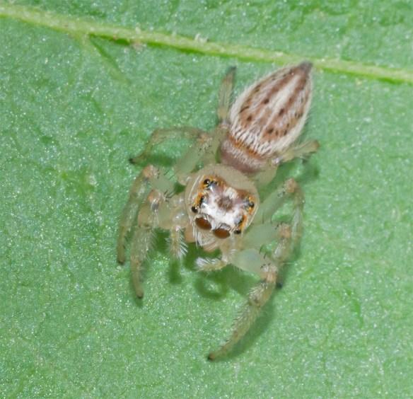Spider 241