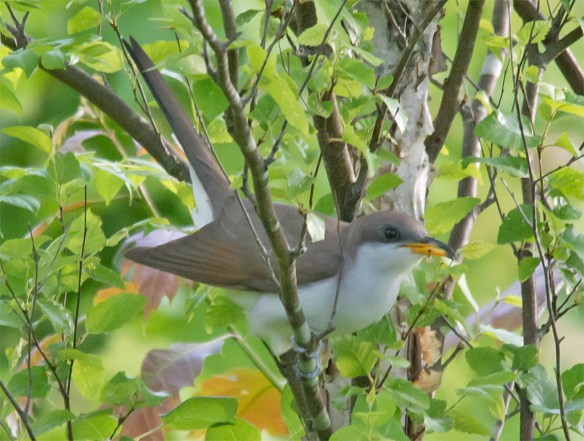 Yellow Billed Cuckoo 102