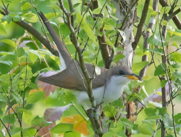 Yellow Billed Cuckoo 102