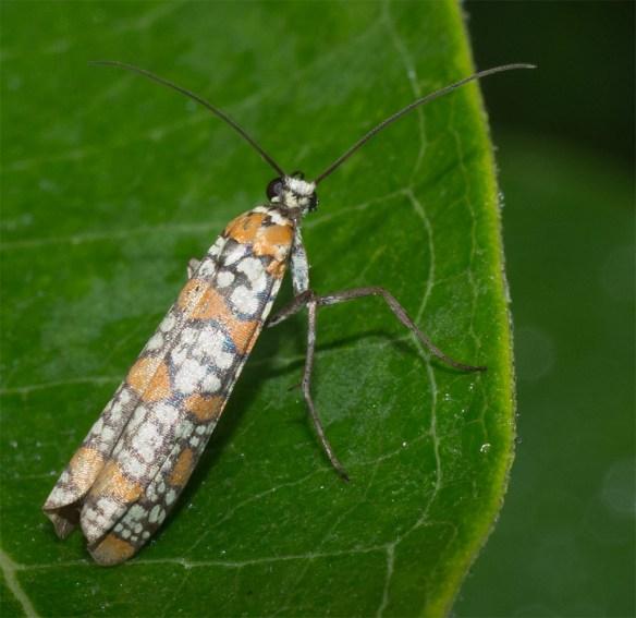 Ailanthus Webworm Moth 3