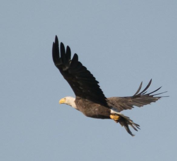 Bald Eagle 419